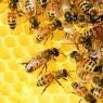 De ce vedetele iau apicultura in seama ca hobby?